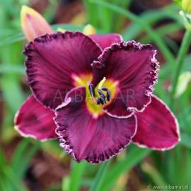 Liliowiec 'Spacecoast Royal Rumble' Hemerocallis