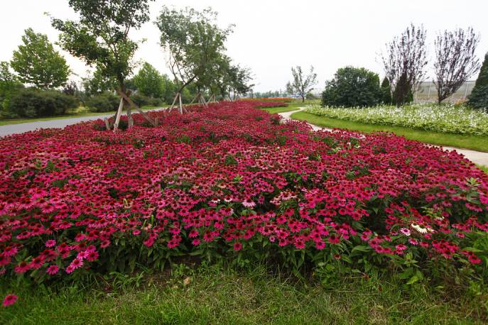 Jeżówka purpurowa PowWow 'Wild Berry' Echinacea purpurea