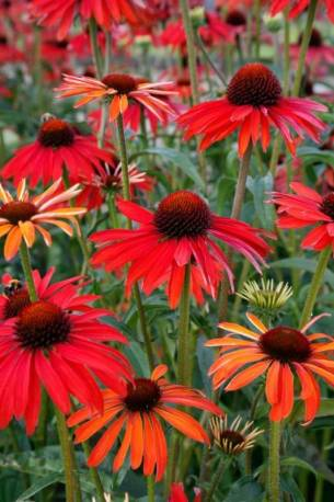Jeżówka 'Hot Summer' Echinacea