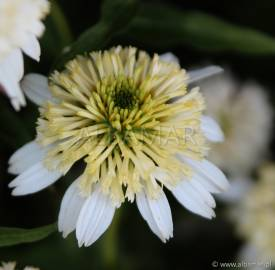 Jeżówka 'Merinque' Echinacea