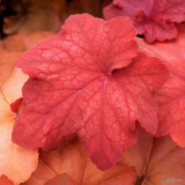 Żurawka 'Orange Dream' Heuchera