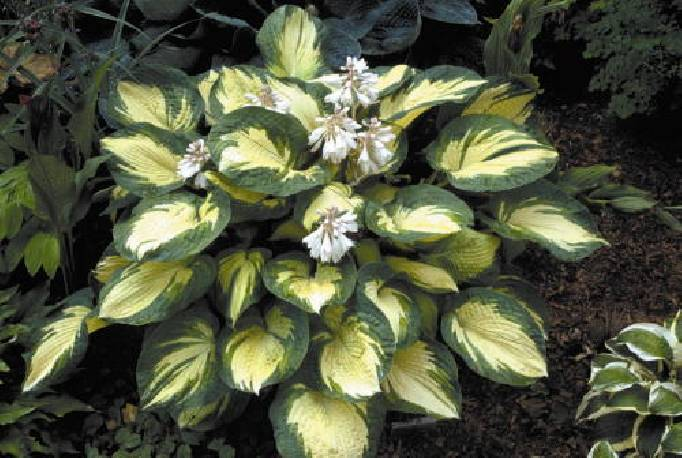 Funkia 'Great Expectations' Hosta