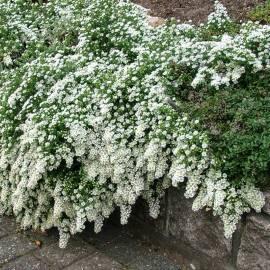 Aster wrzosolistny 'Snow Flurry' Aster ericoides