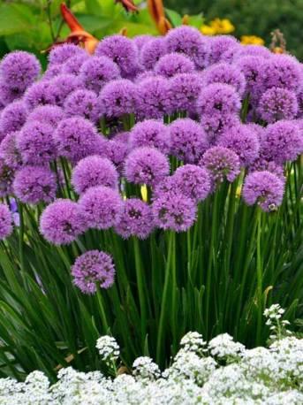 Czosnek 'Millenium' Allium