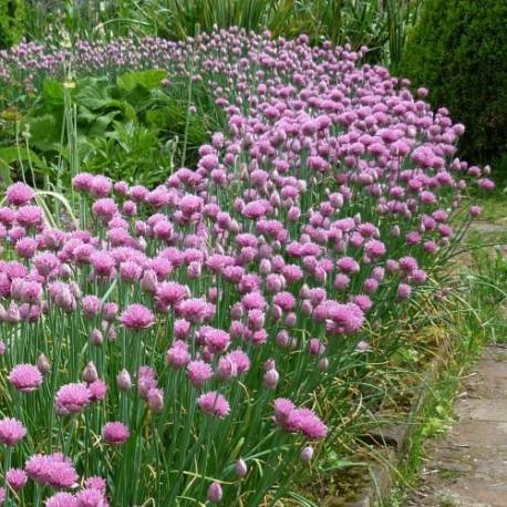 Czosnek szczypiorek Allium schoenoprasum