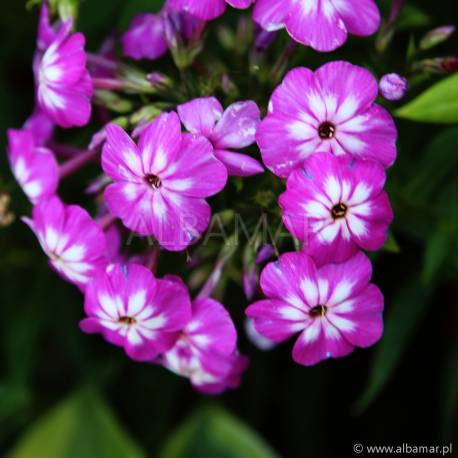 Floks wiechowaty Flame 'Violet Charm' Phlox paniculata