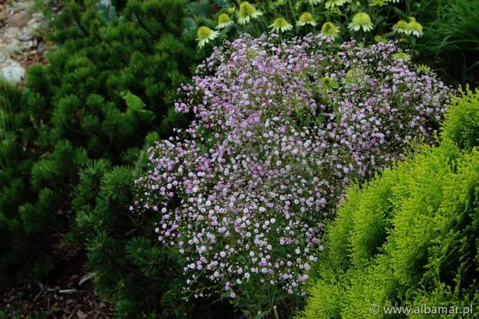 Gipsówka wiechowata 'Pink Festival' Gypsophila paniculata