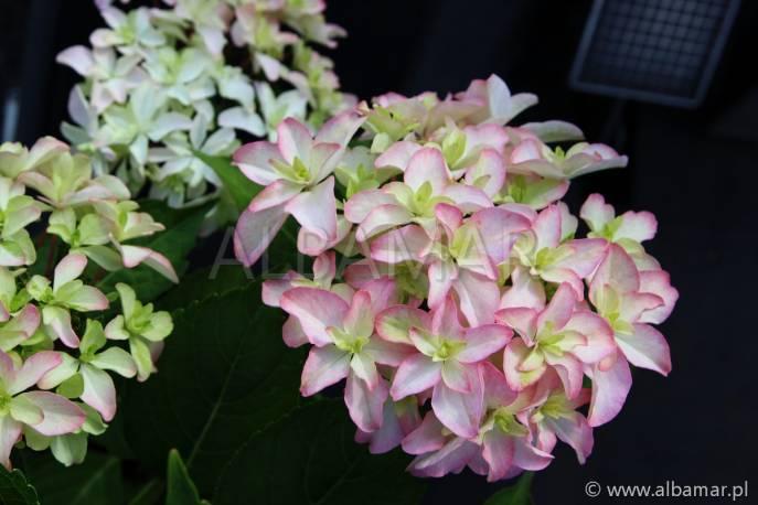 Hortensja ogrodowa 'Inspire' Hydrangea macrophylla