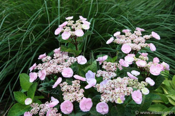 Hortensja ogrodowa 'Camino' Hydrangea macrophylla