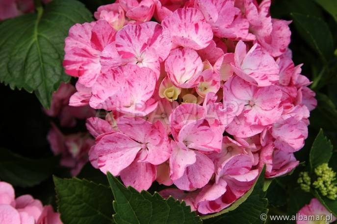 Hortensja ogrodowa 'Sweet Fantasy' Hydrangea macrophylla