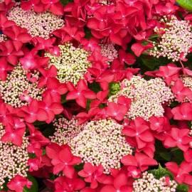 Hortensja ogrodowa 'Rotschwanz' Hydrangea macrophylla