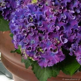 Hortensja ogrodowa 'Curly Sparkle' Hydrangea macrophylla