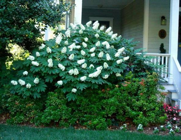Hortensja dębolistna 'Snow Queen' Hydrangea quercifolia