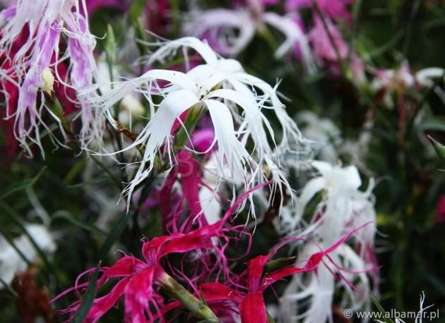 Goździk chiński 'Dancing Geisha' Dianthus chinensis