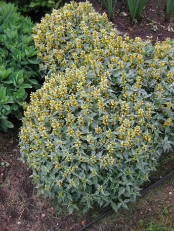 Gajowiec żółty 'Herman's Pride' Lamistrum galeobdoblon