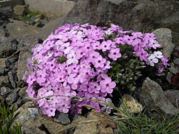 Floks Douglasa 'Lilac Cloud' Phlox douglasii