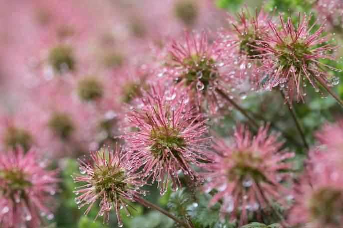 Acena drobnolistna 'Kupferteppich' Acaena microphylla