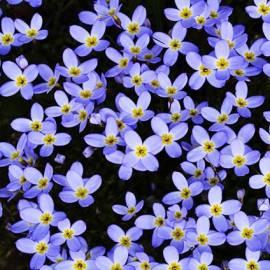 Houstonia błękitna 'Millard's Variety' Houstonia caerulea