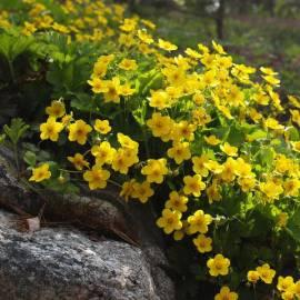 Pragnia syberyjska Waldsteinia ternata
