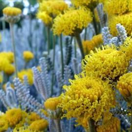 Santolina cyprysikowata Santolina chamaecyparissus