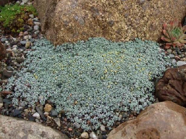 Raoulia południowa Raoulia australis