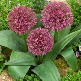 Czosnek nevskianum Allium nevskianum