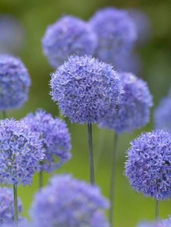 Czosnek błękitny Allium caeruleum