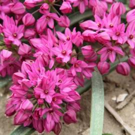 Czosnek kazachstański Allium oreophilum - 5 szt.