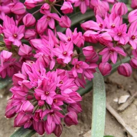 Czosnek kazachstański Allium oreophilum