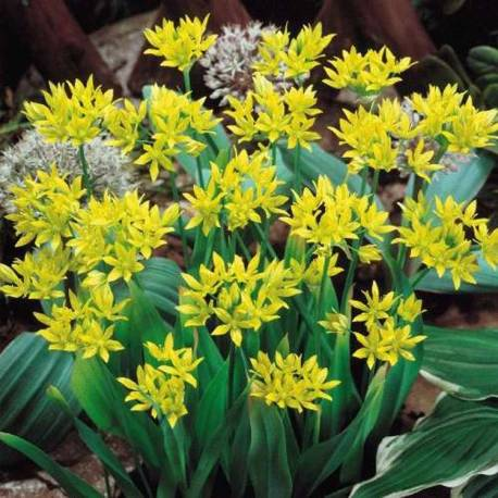 Czosnek południowy 'Jeannine' Allium moly