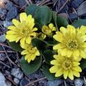 Jaskier wiosenny Ranunculus kochii -3 szt.