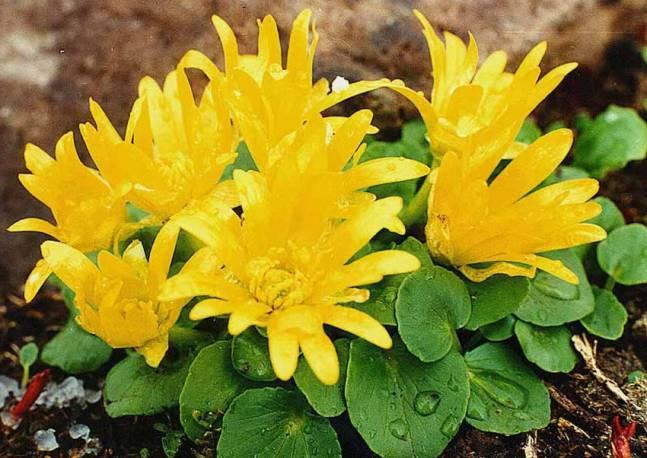 Jaskier wiosenny Ranunculus kochii