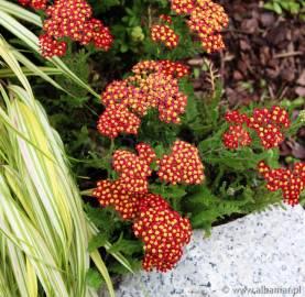 Krwawnik pospolity 'Milly Rock Red' Achillea millefolium