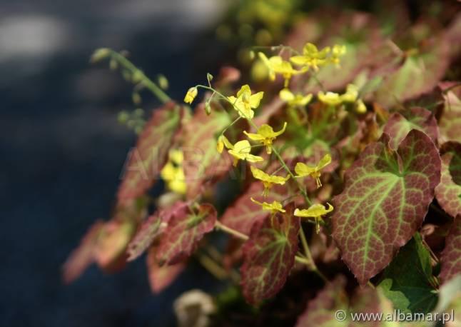 Epimedium 'Frohnleiten' Epimedium × perralchicum