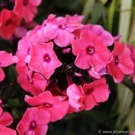 Floks wiechowaty Sweet Summer 'Dream' Phlox paniculata