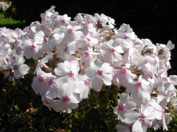Floks szydlasty 'Amazing Grace' Phlox subulata