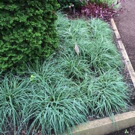 Turzyca sina 'Blue Zinger' Carex flacca