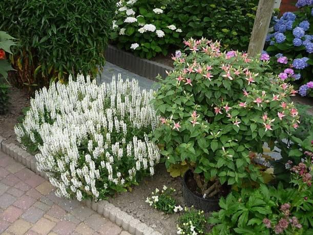 Szałwia omszona Sensation 'Medium White' Salvia nemorosa