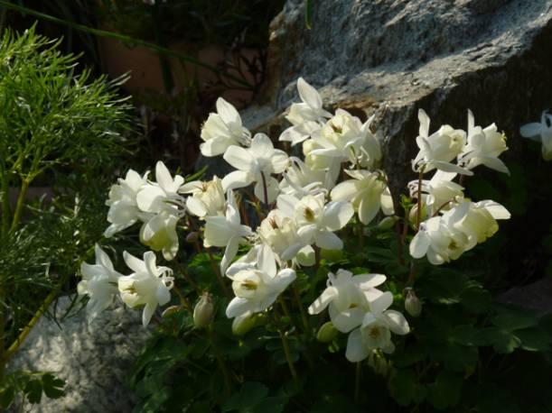 Orlik wachlarzowaty 'Nana Alba' Aquilegia flabellata