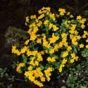 Kaczeniec błotny Caltha palustris
