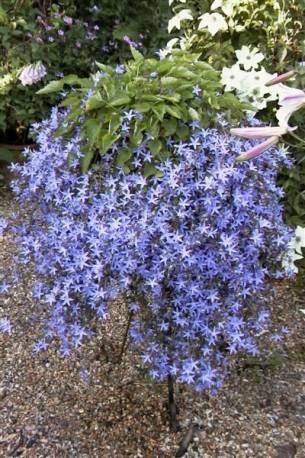 Dzwonek Poszarskiego 'Blue Waterfall' Campanula poscharskyana