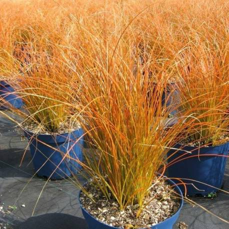 Turzyca ceglasta 'Prairie Fire' Carex testacea