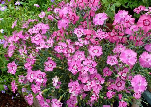 Goździk siny 'Grandiflorus' Dianthus gratianopolitanus