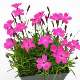 Goździk 'Dinetta Purple' Dianthus
