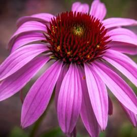 Jeżówka purpurowa 'Rubinstern' Echinacea purpurea