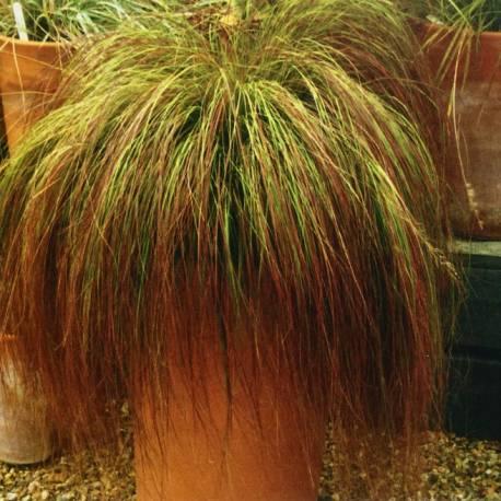 Miłka zakrzywiona 'Totnes Burgundy' Eragrostis curvula