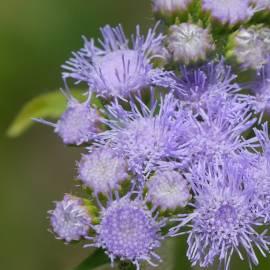 Sadziec błękitny Eupatorium coelestinum