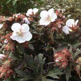Bodziszek łąkowy 'Black'n White' Geranium pratense