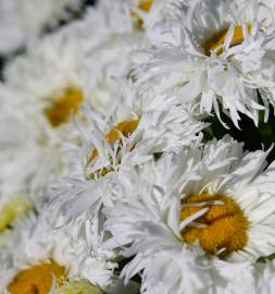 Złocień wielki 'Ooh La LaSpider' Leucanthemum x superbum
