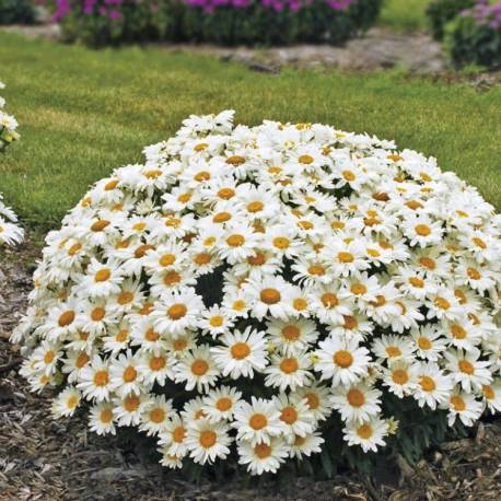 Złocień wielki 'Snow Lady' Leucanthemum x superbum